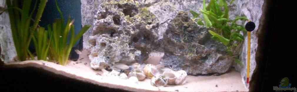 Neolamprologus multifasciatus Artenbecken