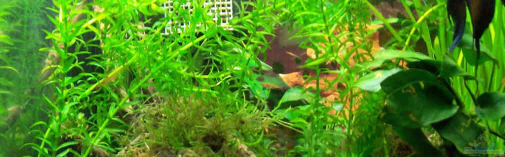 Aquarium von drako kampffisch tr umereien for Kampffisch shop