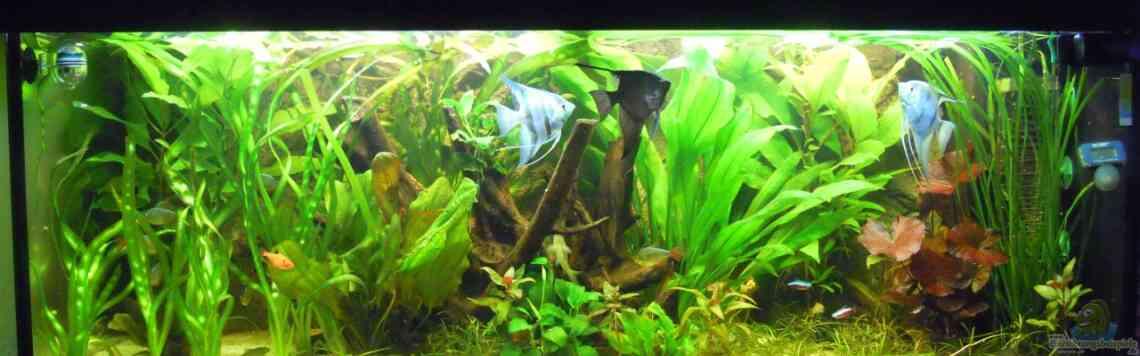 Aquarium von stephan winter 22669 skalarbecken for Schwarzer skalar