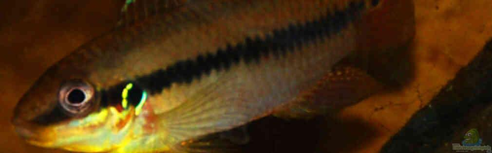 Enigmatochromis