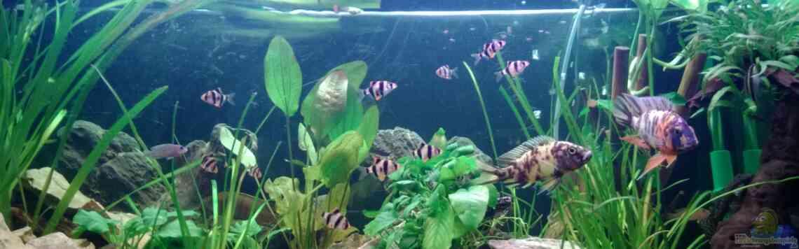 Aquarium von Sanchez79 (27649): BarschBecken