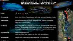 "Artentafel - Melanochromis sp. ""northern blue"""