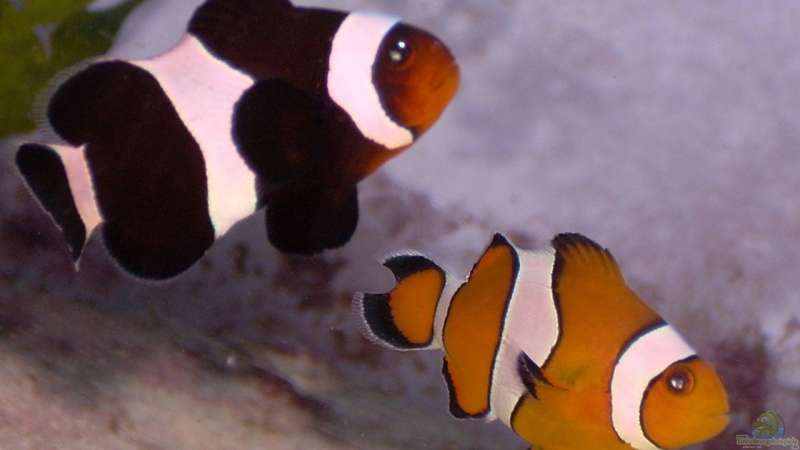 Artentafel Falscher Clownfisch (Amphiprion ocellaris)