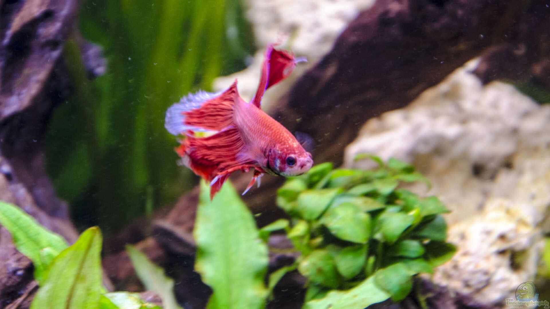 Betta Splendens Siamesischer Kampffisch