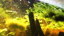 Pflanzen im Aquarium Amazing Amazonas