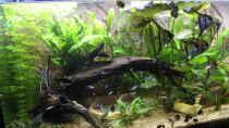 Dekoration im Aquarium Peruaner - wurde aufgelöst -(