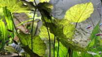 Tigerlotus