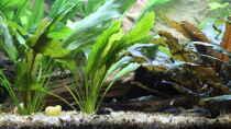 Pflanzen im Aquarium Peruaner - wurde aufgelöst -(