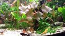 Rote Tigerlotus wächst gut