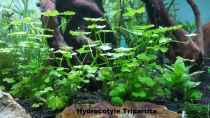Pflanzen im Aquarium Magic Aquascaping