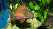 Tropheus kachese red