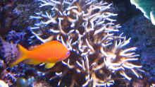 Besatz im Aquarium Wohnzimmerriff