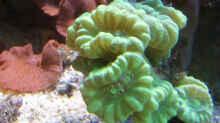 Caulastrea furcata - Flötenkoralle / Fingerkoralle