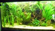 Aquarium Skalarbecken