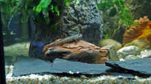 Besatz im Aquarium Grundelbecken