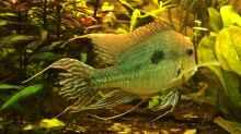 Besatz im Aquarium Geophagus Proximus