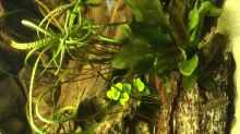 Pflanzen im Aquarium Geophagus Proximus