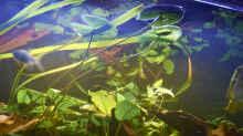 Die Schwimmblätter des Tigeslotus