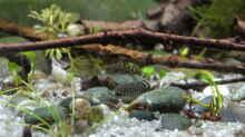 Besatz im Aquarium Sewellia Gumpe