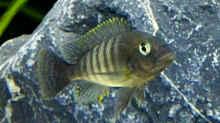 Petrochromis famula ndole, Jungtier