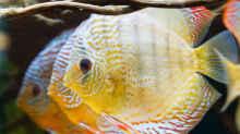 Grüne Diskus Amanã,  Symphysodon aequifasciatus