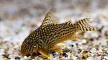 Sterbai Panzerwelse, Corydoras sterbai
