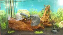 Linker Bereich des Aquariums mit Wurzel und zwei kleinen Gräsern im Vordergrund