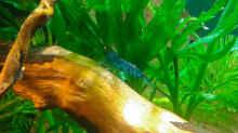 Blaue Tiger jung, 1,5cm