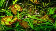 Kleinblütige Seerose/Tigerlotus (Nymphaea micrantha)