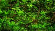 Kriechende Staurogyne (Staurogyne repens, Staurogyne sp. vom Rio Cristalino)