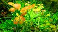 Ovalblättrige Ludwigie (Ludwigia ovalis)