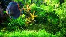 Grosse Kognakpflanze (Ammania gracilis) als Blickfang
