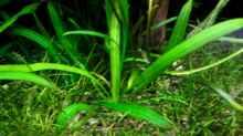 Amazonas-Zwergschwertpflanze (Echinodorus spec. grisebachii)