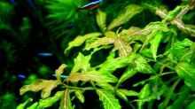 Indischer Wasserfreund (Hygrophila polysperma rosanervis)