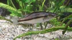 Dimidiochromis compressiceps w
