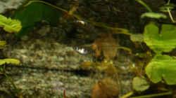 Epiplatys unter der Wasseroberfläche