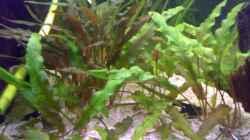 Pflanzen im Aquarium 240L - Salmler (nur noch als Beispiel)
