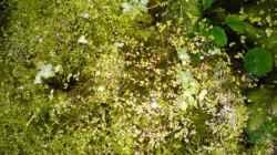 Schwimmpflanzen (Sumatrafarn und Wasserlinsen)