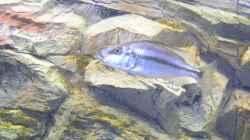 Dimidiochromis compressiceps Weib