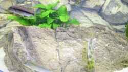Pflanzen im Aquarium Räuber aus dem Werder.... ähmm Malawisee
