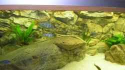 Aquarium Räuber aus dem Werder.... ähmm Malawisee