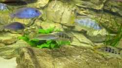Dekoration im Aquarium Räuber aus dem Werder.... ähmm Malawisee