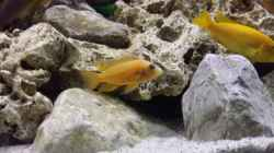 Aulonocara sp. Fire Red