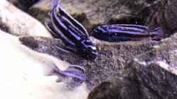 Besatz im Aquarium Unser Malawi - nicht mehr in Betrieb