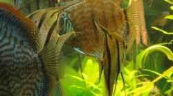Besatz im Aquarium Amazonas (Existiert nicht mehr)