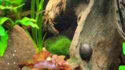 Rote Tigerlotus
