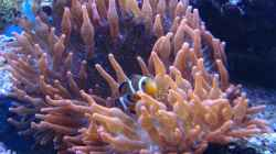 Clownfische___________Amphiprion percula__