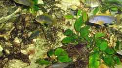 Besatz im Aquarium Malawi-Nature