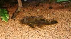Besatz im Aquarium Naturaquarium Südamerika