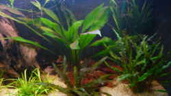 Pflanzen im Aquarium Südamerika